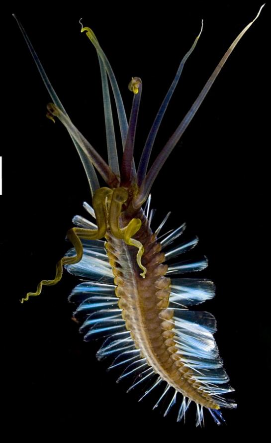 squidworm