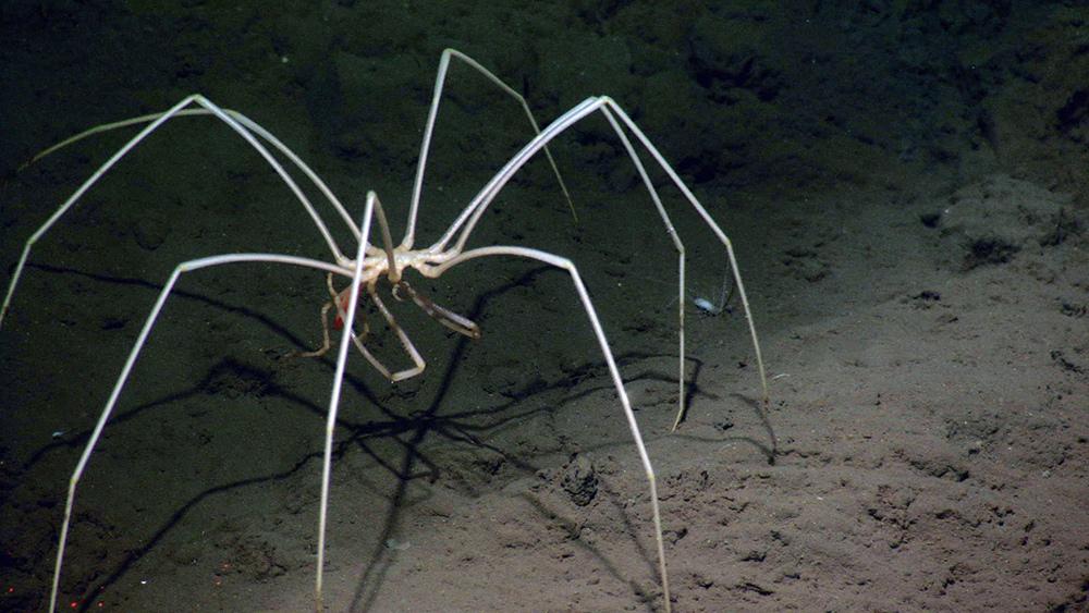 Sea spider - photo#3